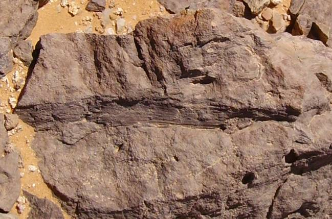 Carboniferous plant imprints in the surrounding of Gilf ...